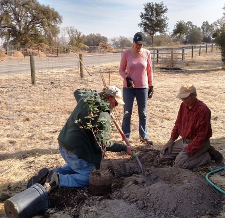 Planting the Valley Oak Tree - Cory, Meg and John